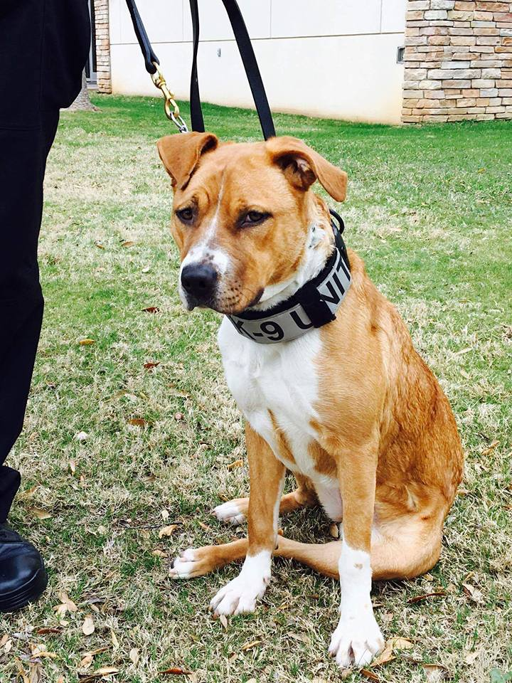 Pit Bull Mix From Shelter Joins Police Force To Work In Narcotics Detection