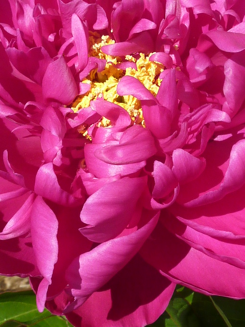 Peonies in full bloom now.