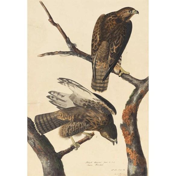 Audubon: Harlan's Red-Tailed Hawk