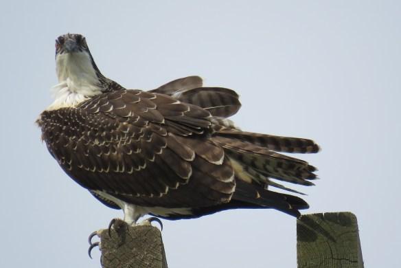 Kath's Canon August 29, 2015 Osprey, Hawk, Kingfisher 041