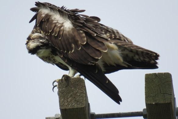 Kath's Canon August 29, 2015 Osprey, Hawk, Kingfisher 047