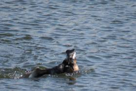 Facebook 16 Red Necked Grebe attacking an Eared Grebe May 14