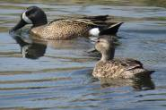 Facebook 18, Mr. and Mrs. Blue Winged Teal