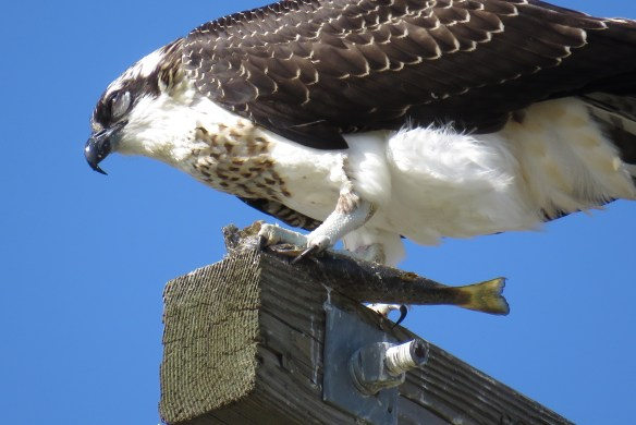 Kath's Canon September 2, 2015 Osprey, Franks, Stinky Max 062