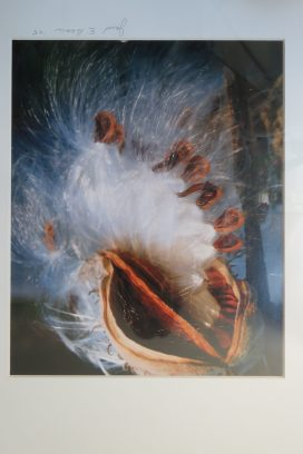 Milkweed Pod Photographs: I loved these!
