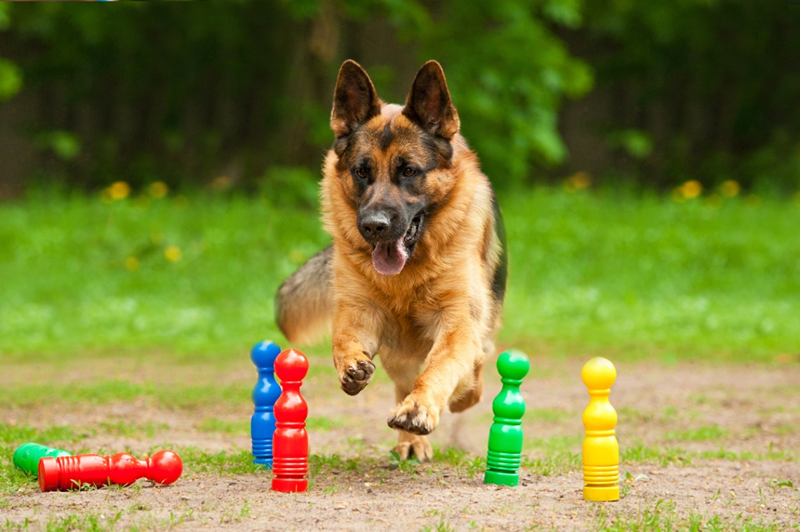 Games To Play With German Shepherd