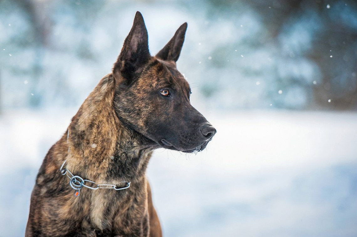 Dutch Shepherd Dog Breed Information