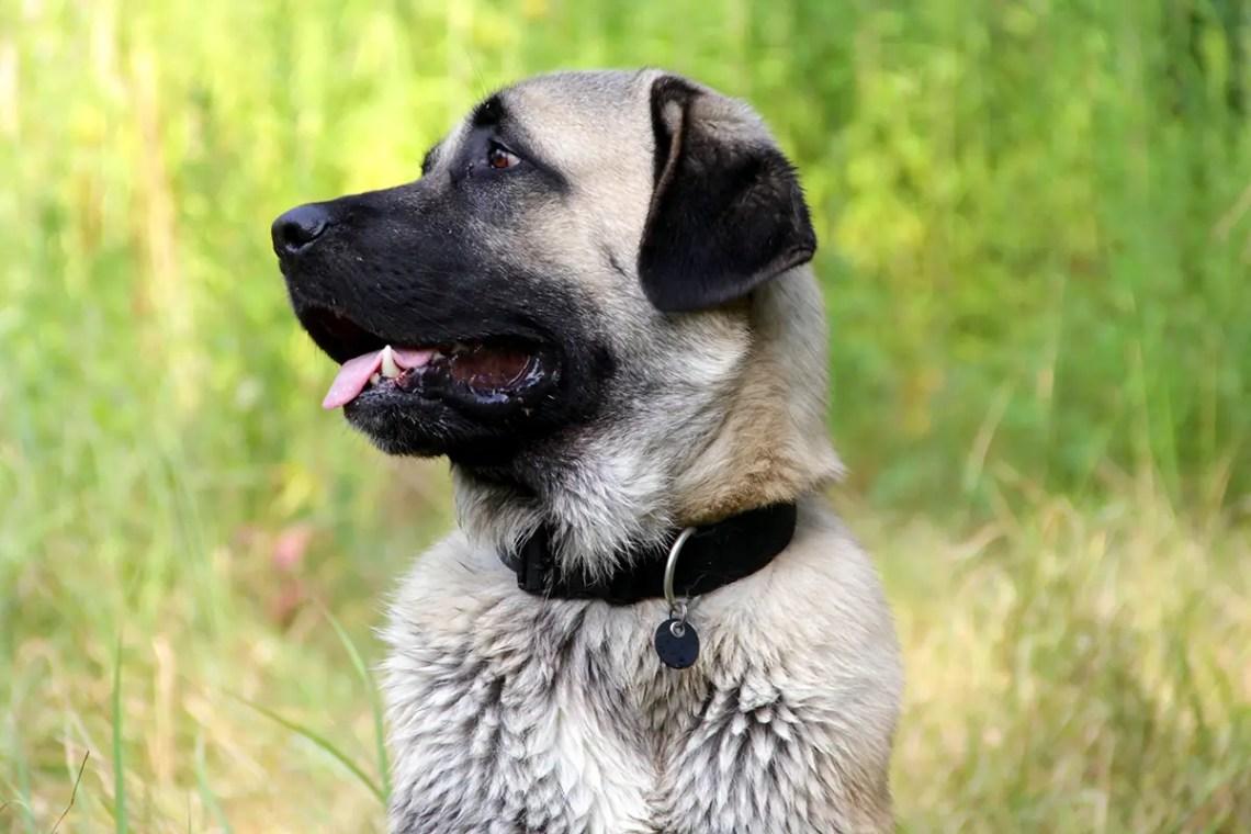 Kangal Shepherd Dog Breed Information