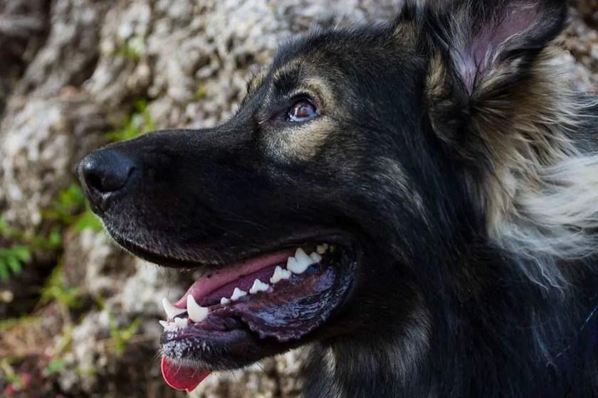 American Alsatian Dog Close Up