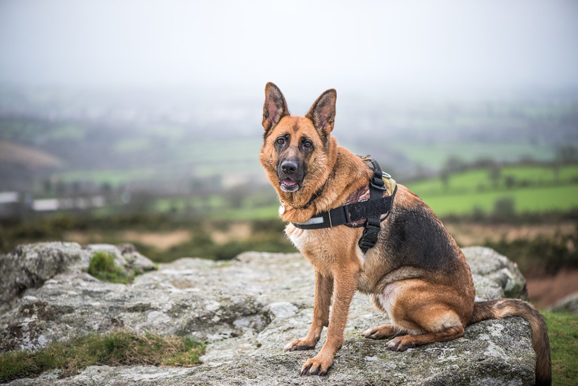 Best Harness And Leash For German Shepherd