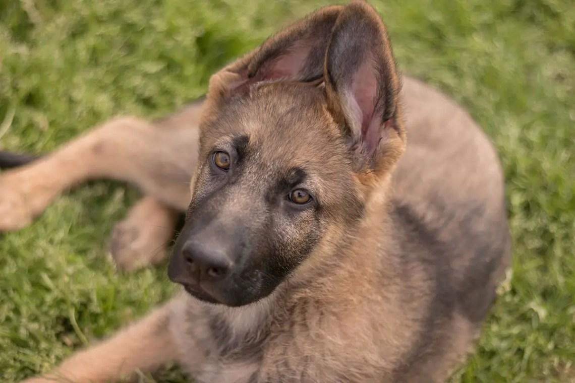 German Shepherd Ears Meaning