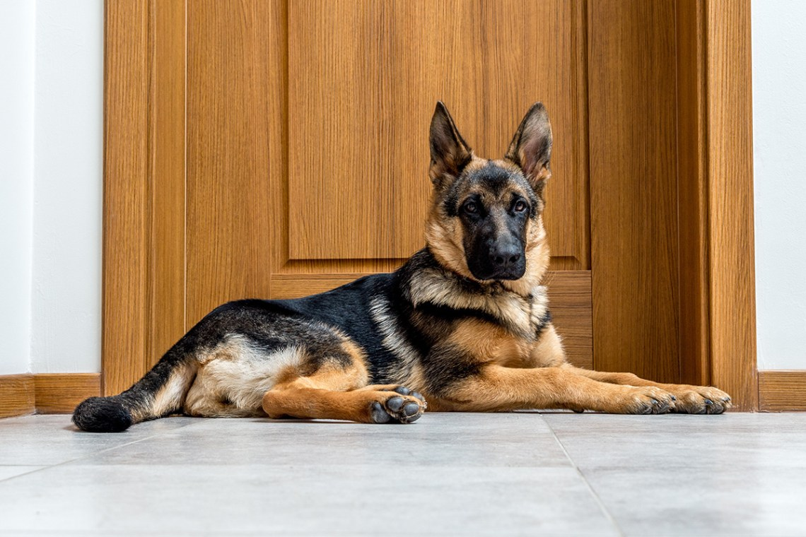 How To Train Your German Shepherd To Be A Guard Dog