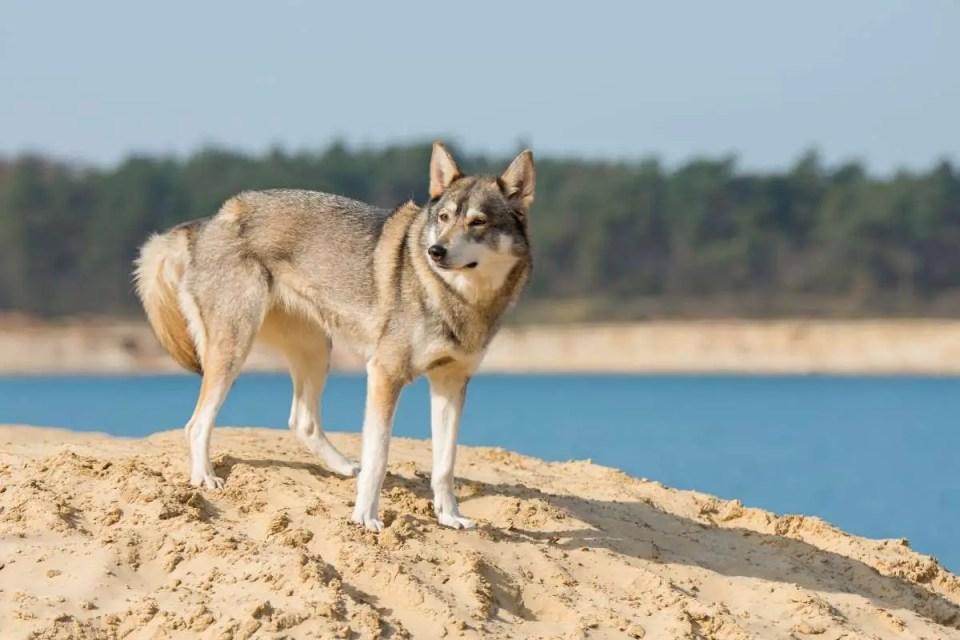 Tamaskan Wolf Like Dog