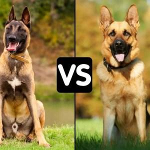 Difference Between Belgian Malanois And German Shepherd VS