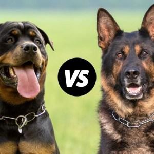 Rottweiler vs German Shepherd