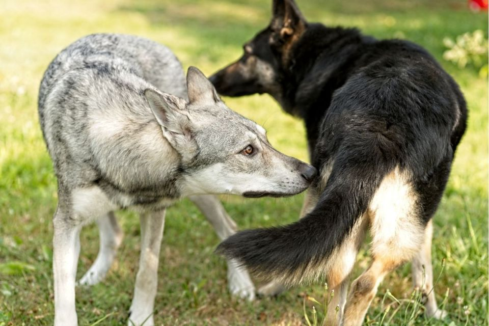 Wolf Mix Meeting Female