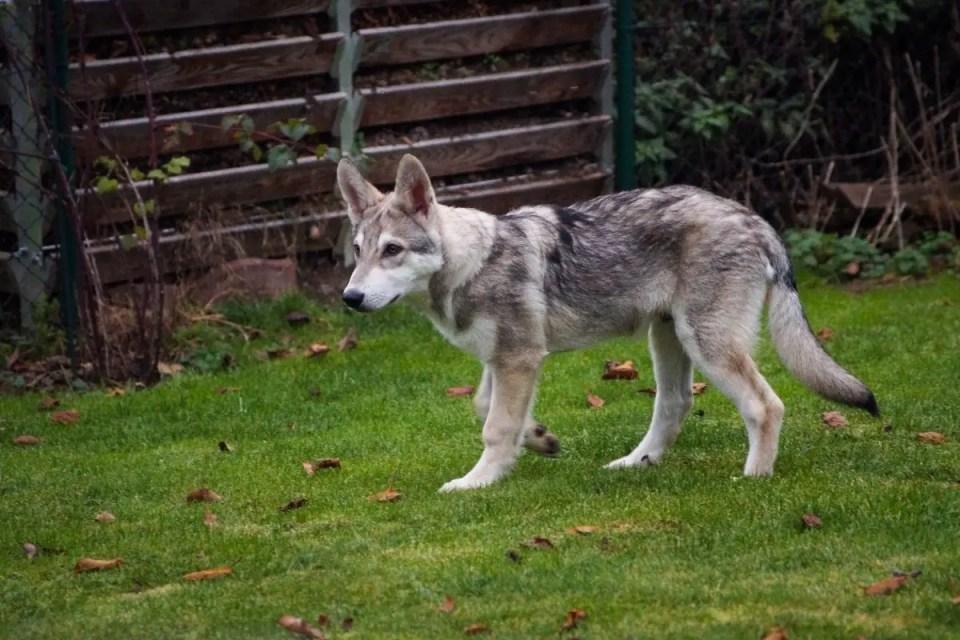 Young German Shepherd Wolf Mix