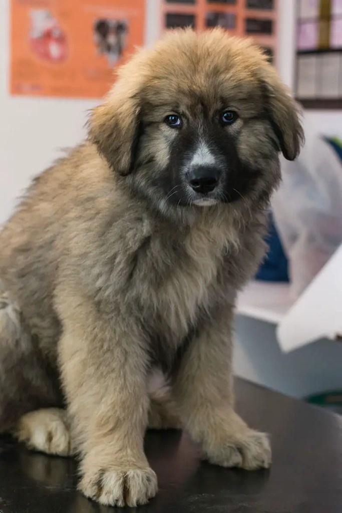Carpathian Shepherd Puppy Vet