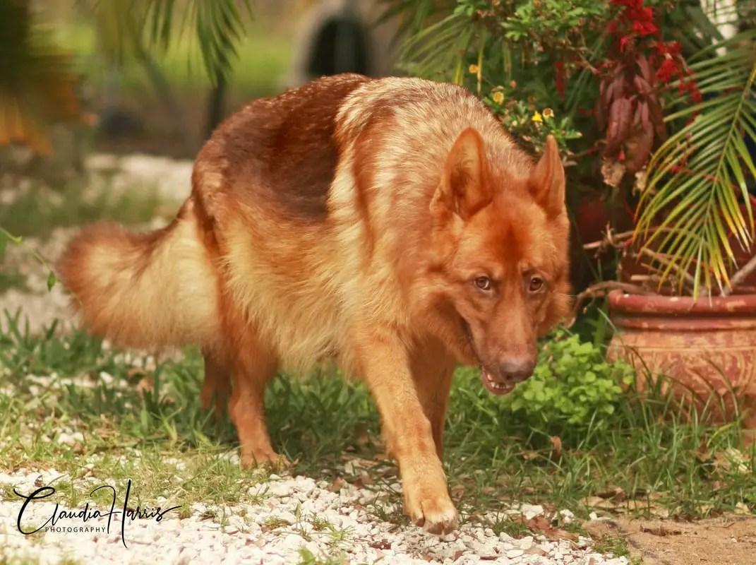 Liver Colored German Shepherd