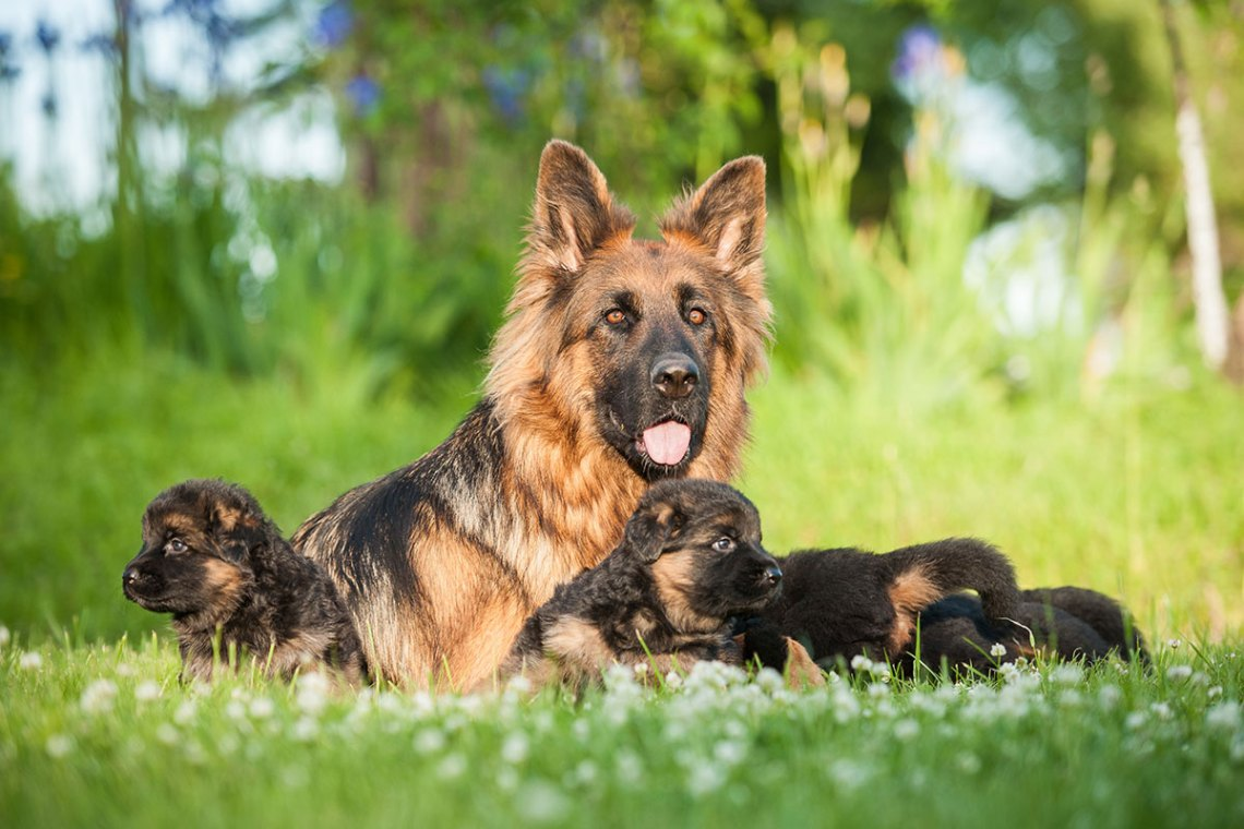 How Many Puppies Can A German Shepherd Have
