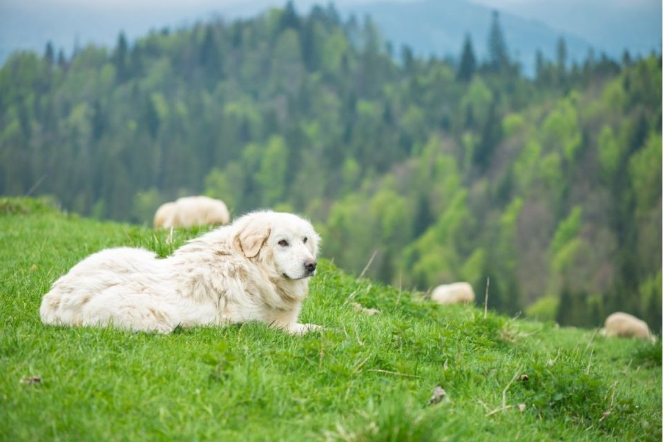 Polish Sheepdog