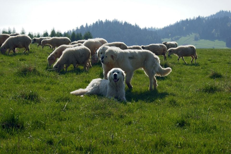 Polski Owczarek Podhalański Group Protecting Sheep