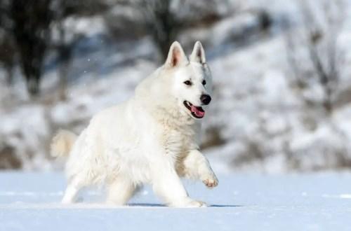 White Swiss Shepherd Dog Snowy