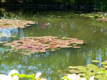 Lily pads on the pond - the frogs were loud!