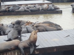 Sea Lions on Pier 39 in San Francisco