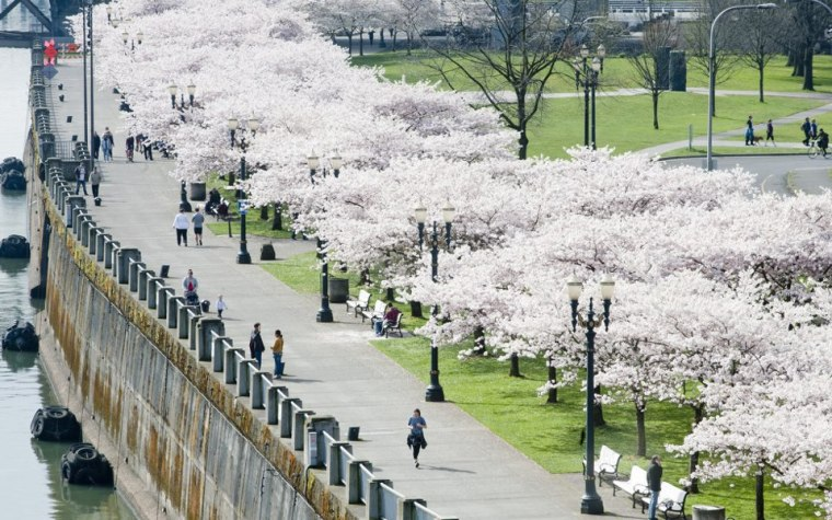 Cherry blossoms along the Portland waterfront