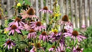 coneflowers, flowers, fading colors, fading