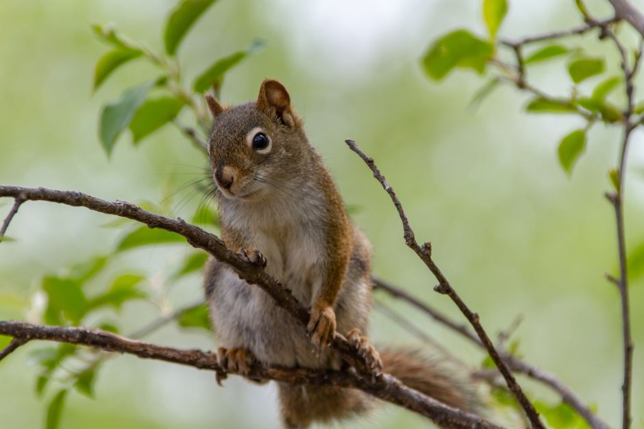 unexpected visitor, animals, squirrel, vine maple, trees, food, cohabitation,