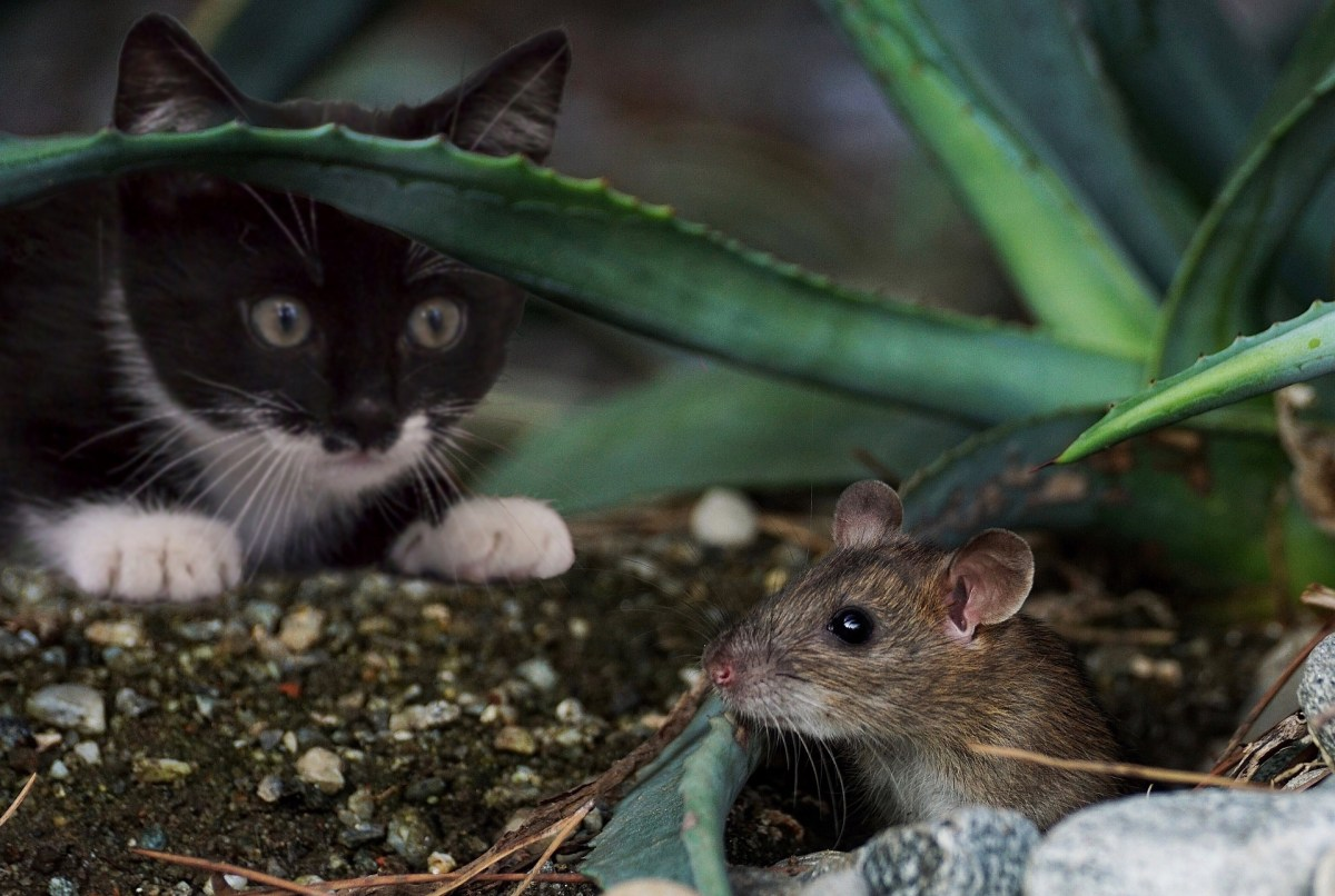 cat, mouse, hunting, chasing