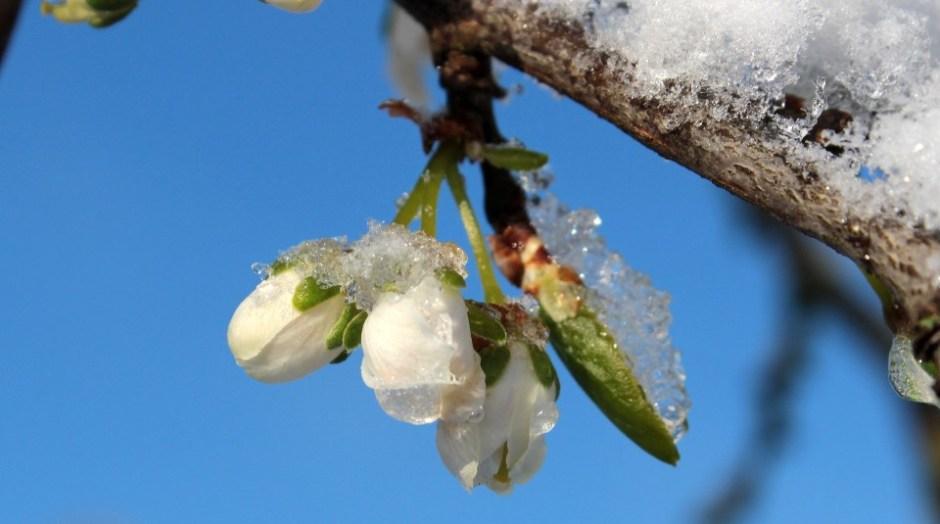 renewal, plum tree, ice, spring