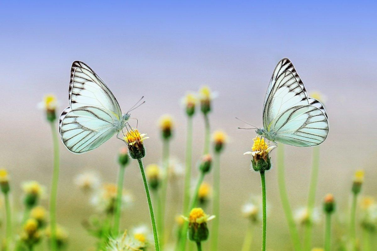 butterflies, wild flowers, blue sky, summer