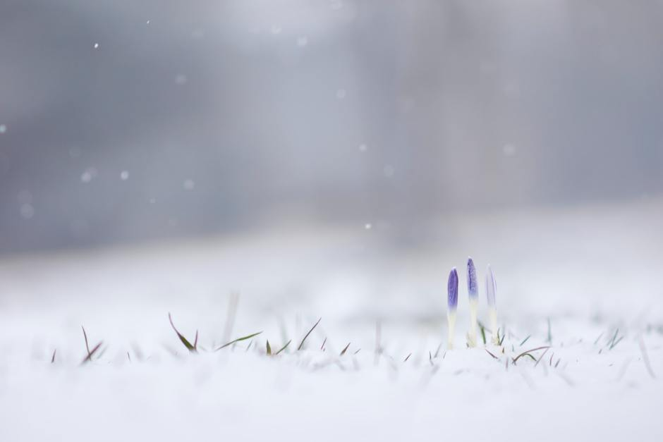 offline, hibernate, hide, grape hyacinths, frost