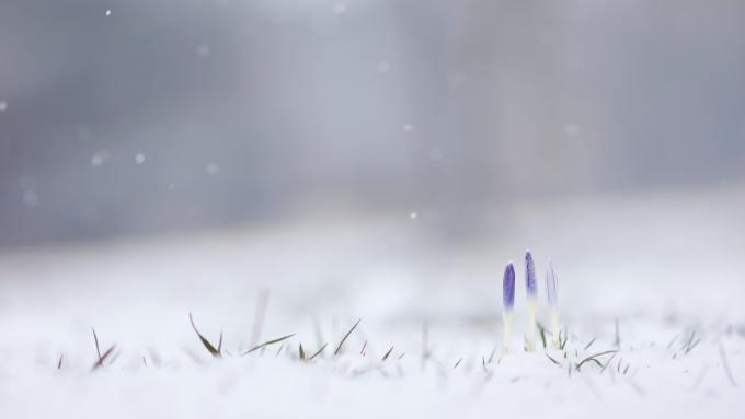 offline, hibernate, hide, grape hyacinths, frost