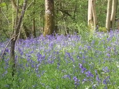 Duncliffe Bluebell Woods May 2014 (27)