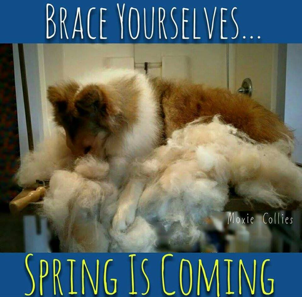Shedding Collies in Spring