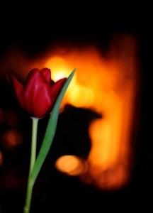 Napa Valley Tulip, Valentine's Day 2011