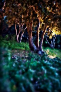 Trees, HIllside, Carmel, CA, May, 2011