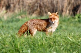Fox on the prowl on the Cliff
