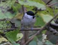 Marsh Tit Nov 2012 2
