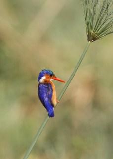 Malachite Kingfisher