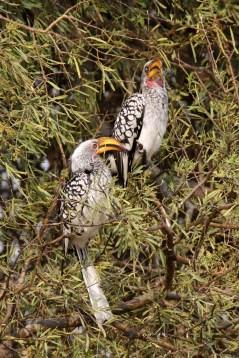 Yellow Billed Hornbill 1