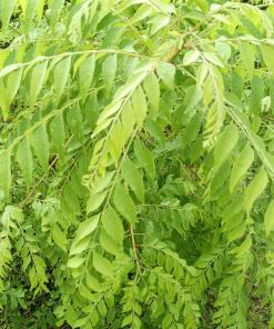 Fresh Curry Leaves / Karri Patta, buy in Pakistan