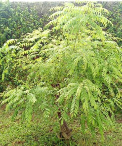 Buy Fresh Curry Leaves in Pakistan