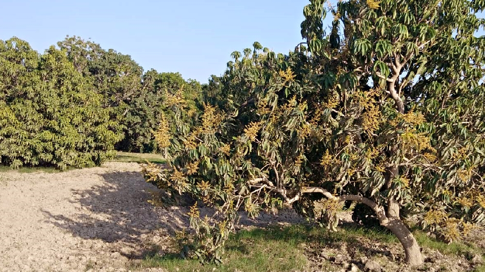Sindhri mango trees at Sherwah