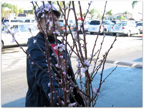 Plum blossoms for Tet