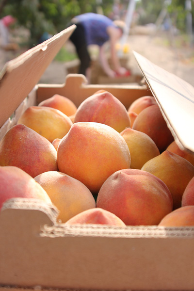 Heirloom peaches from Masumoto farms